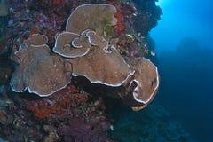 大象皮肤Pachyseris在墙壁礁石的板材珊瑚 免版税库存图片