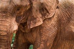 大象皱痕 免版税图库摄影