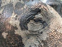大象眼睛特写镜头在浴以后的 免版税图库摄影