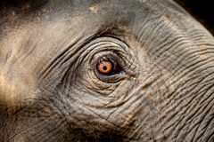 大象眼睛特写镜头 库存照片