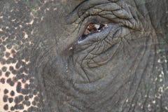 大象眼睛的接近的射击 库存照片