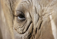 大象眼睛 免版税库存图片