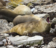 大象福克兰群岛密封 免版税图库摄影