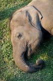 大象繁殖的中心在Chitwan,尼泊尔 库存图片