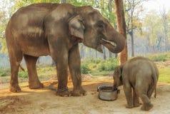 大象繁殖的中心在Chitwan,尼泊尔 图库摄影