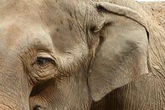 大象纵向 免版税库存图片