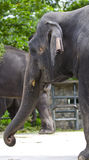 大象纵向 免版税图库摄影