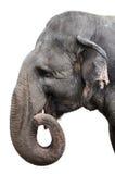 大象纵向 图库摄影