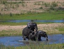 大象联接 免版税库存照片
