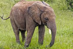 大象肯尼亚 免版税库存照片