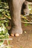 大象脚 库存照片