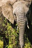 大象膳食 免版税库存图片