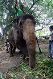 大象药物治疗 图库摄影