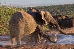 大象获得乐趣在waterhole 免版税库存图片
