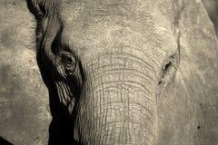 大象表面黑白照片纵向 免版税库存图片