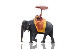 大象被隔绝的白色乘坐在Ayutth附近的游人的 免版税库存照片