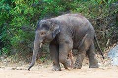 大象走的年轻人 库存图片