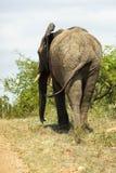 大象走艰难在一条土路旁边在公园 库存照片