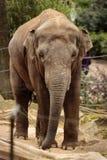 大象迈索尔公园动物园 库存照片