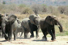 大象运行 免版税库存图片