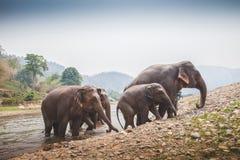 4头大象退出河 库存图片