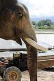 大象面孔特写镜头侧视图与被去除的象牙的 图库摄影