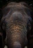 大象面孔画象 免版税库存照片