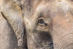 大象面孔 免版税库存图片