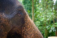 大象顶头特写镜头 库存图片