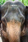大象顶头特写镜头 免版税库存照片