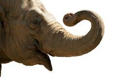 大象题头 免版税库存图片