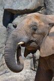 大象题头 库存图片