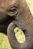 大象题头 图库摄影