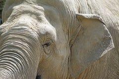 大象题头关闭 免版税图库摄影