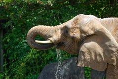 大象饮用水的特写镜头 库存图片