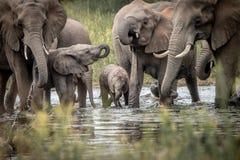 大象饮用的牧群  免版税库存照片