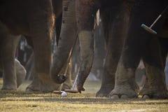 大象马球特写镜头在尼泊尔 免版税库存照片