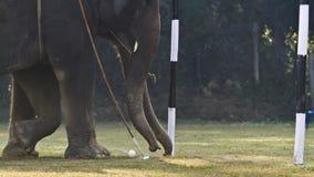 大象马球特写镜头在尼泊尔 免版税库存图片