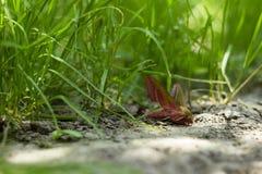 大象鹰飞蛾,Deilephila elpenor是从Sphingdae家庭,关闭的一只飞蛾  绿色和桃红色睡衣,蝴蝶 库存图片