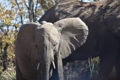 大象,小非洲大象 库存图片
