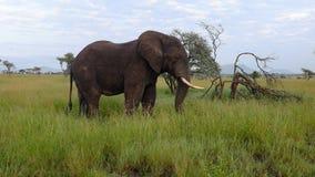 大象,当在塞伦盖蒂的徒步旅行队,坦桑尼亚,非洲时 免版税库存图片