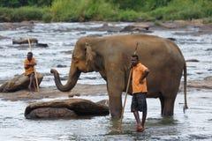 大象,斯里兰卡 库存照片