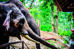 大象,泰国, 库存照片