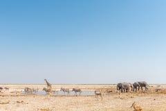 大象,长颈鹿, Burchells斑马,跳羚,蓝色角马 免版税库存图片