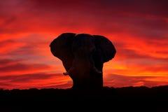 大象,非洲红色日落 非洲徒步旅行队,在草的大象 从自然,大哺乳动物在栖所,Moremi的野生生物场面 库存照片
