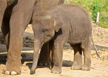 大象婴孩 免版税库存照片
