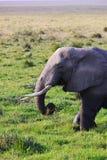 大象-徒步旅行队肯尼亚 免版税库存照片