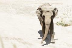 大象画象在沙子背景的  库存照片