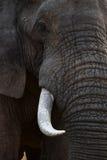 大象画象 免版税库存照片