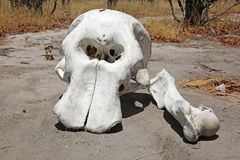 大象头骨 库存图片